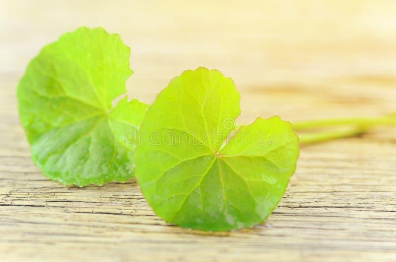 Natural Gotu-Kola leaves in warm light tone. royalty free stock photos