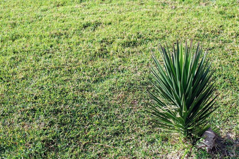 Natural grass end small palm royalty free stock image