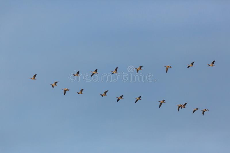 Gray geese anser anser birds flying in V-formation during migr royalty free stock image