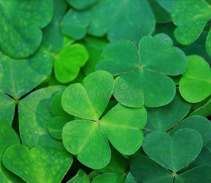 Natural green background with fresh three-leaved shamrocks.Close-up of Clover Leaves. St. Patrick`s day holiday symbol. Top View.  stock images