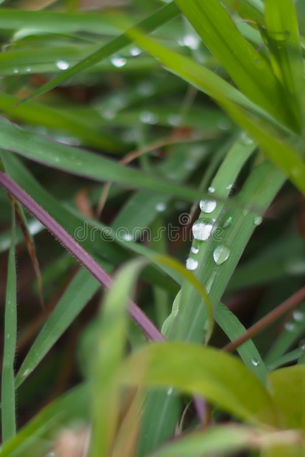 Natural green background, grass leaves with water droplets after rain. Depth of field. For a nature background royalty free stock photo
