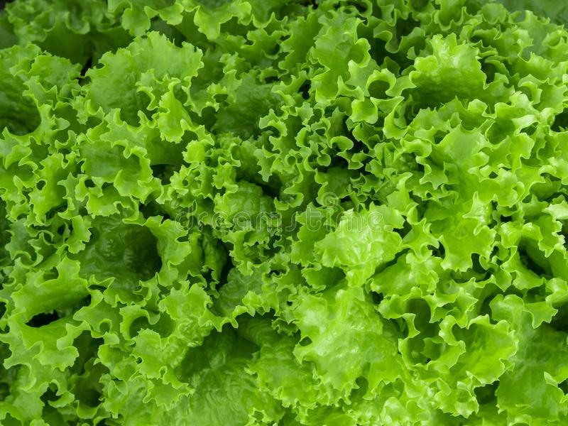 Natural green background. Green lettuce salad leaves. Closeup. Healthy vegetarian food, fresh, diet concept royalty free stock image