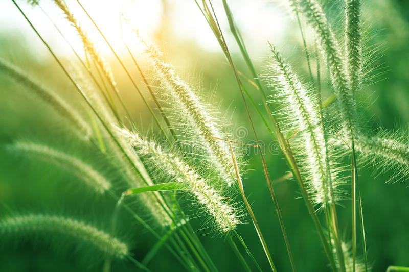 Natural green grass flower with sunset for background. Selective focus royalty free stock image
