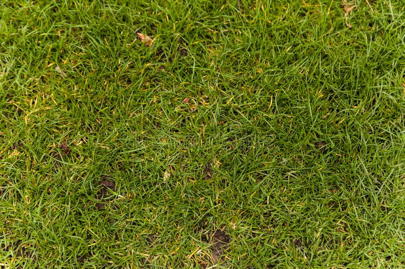 Natural Green grass texture. Perfect Golf or football field background stock photo