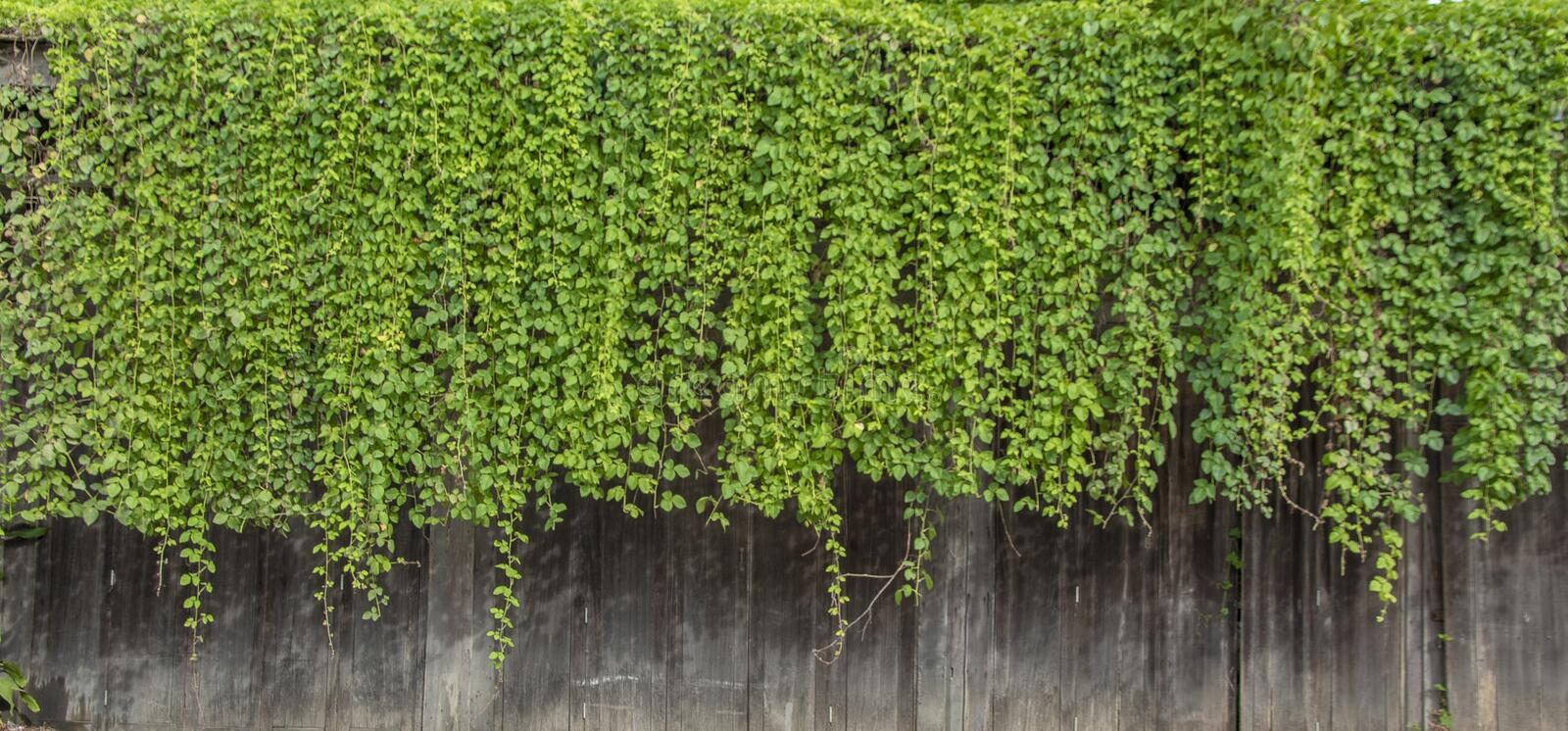 Natural green ivy vine plants wall from wood canopy royalty free stock image