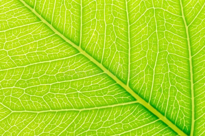 Natural green leaf background with light behind for graphic design.  stock photo