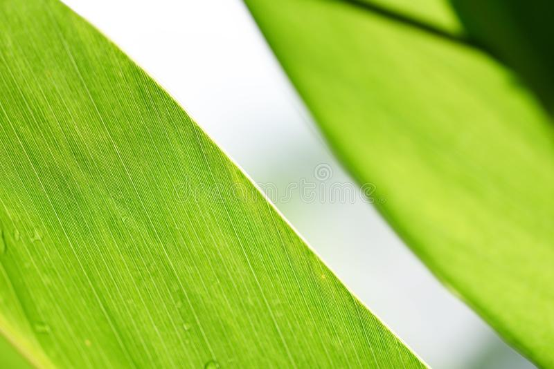 Natural green leaf on blurred sunlight  background in garden ecology fresh leaves tree close up beautiful plant in the nature royalty free stock photo