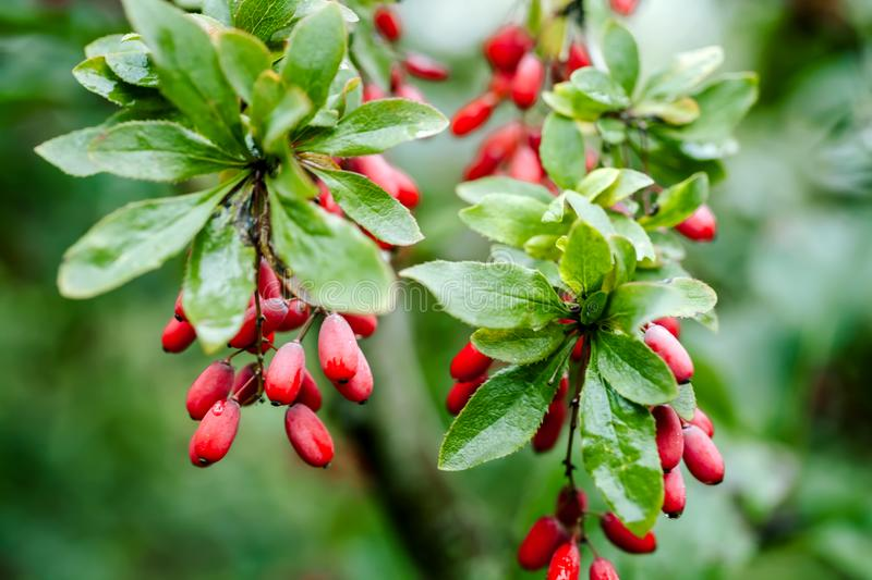 Natural green leaves branch of ripe red barberry after a rain with drops of wate royalty free stock photography