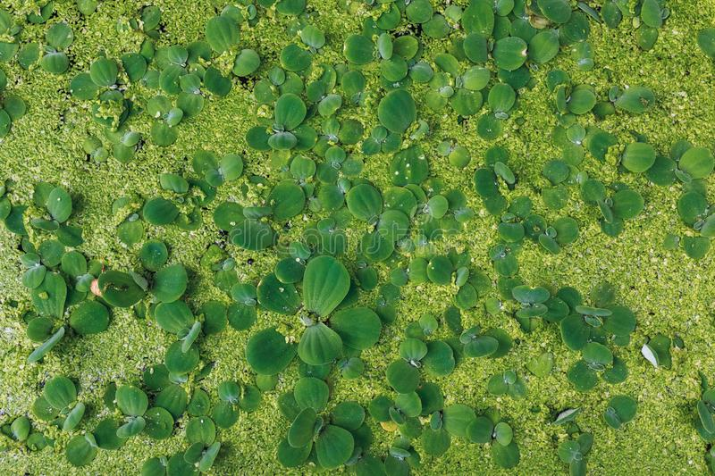 Natural green marsh duckweed on the water surface, background or pattern of floating plant leaves texture. Texture of natural green marsh duckweed on the water stock photos