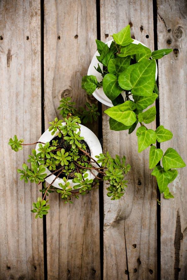 Natural green plants on an old vintage wooden board fotografia stock libera da diritti