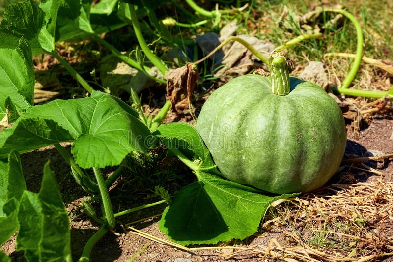 Natural green pumpkin. Growing in a farm stock images