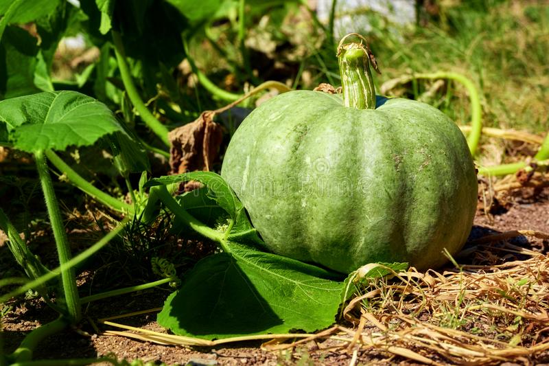 Natural green pumpkin. Growing in a farm royalty free stock photography