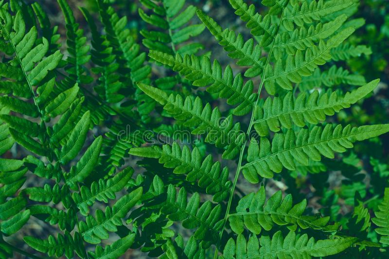 Natural background of leaves. Natural green young ostrich fern or shuttlecock fern leaves Matteuccia struthiopteris on each other. Natural green young ostrich royalty free stock photography