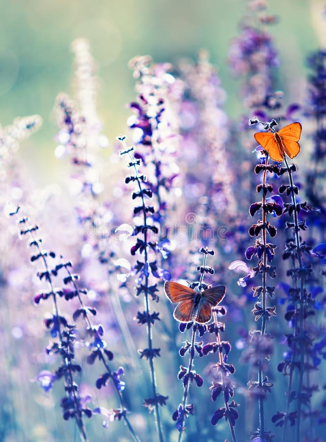 Natural greeting card with two small bright orange butterfly pigeon sitting on purple flowers in summer Sunny day in the clearing. Greeting card with two small stock photos