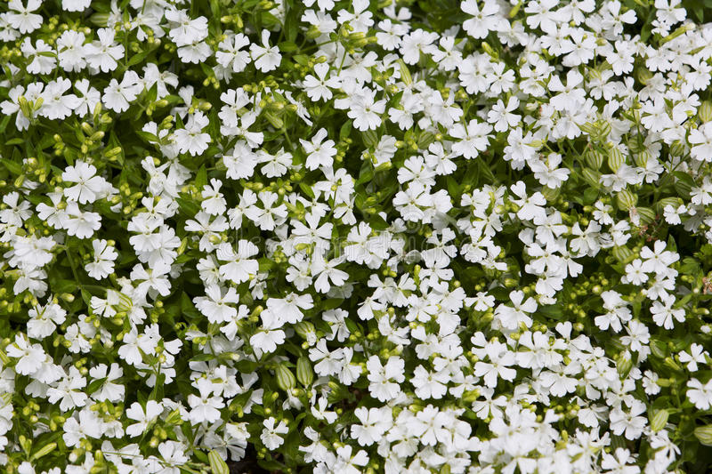 White flowers in lawn best flowers 2018 famous what are the little white flowers in my lawn ponent best mightylinksfo