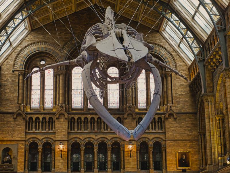 Hope -Blue whale skeleton. Natural history museum have replaced Dippt with Hope the blue whale skeleton. Blue whales are the largest creature to have ever lived stock photos