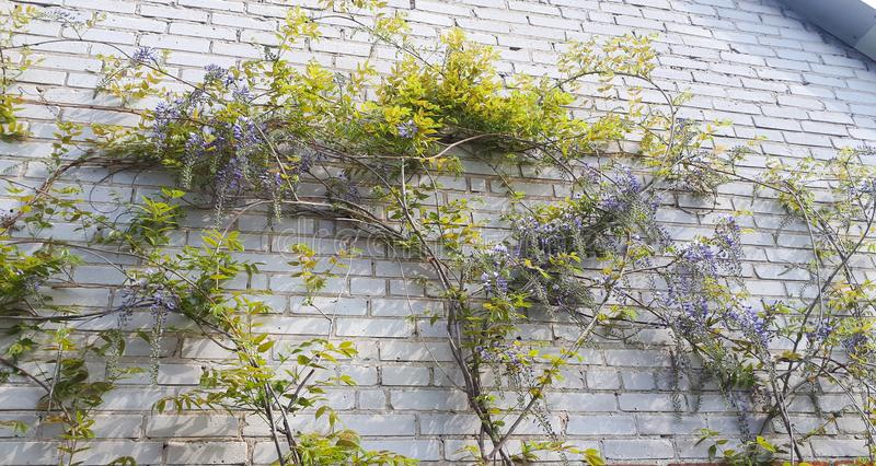 Natural home decoration with flowers of Chinese Wisteria. Fabaceae Wisteria sinensis royalty free stock photos