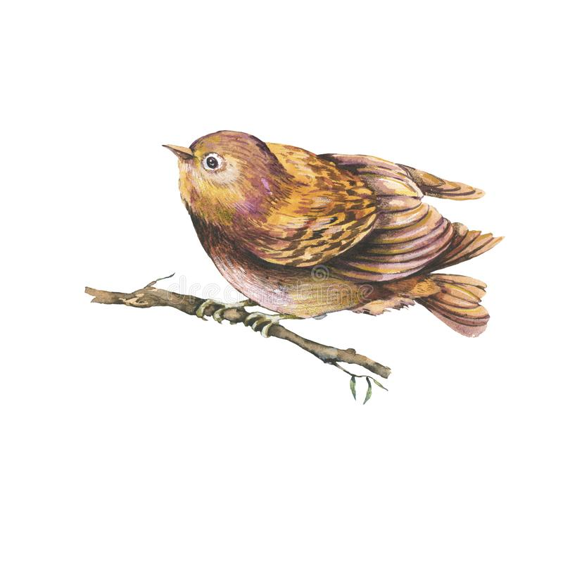 Natural illustration of a brown watercolors bird on branch. Isolated watercolor birds collection, Cute animals illustration royalty free illustration