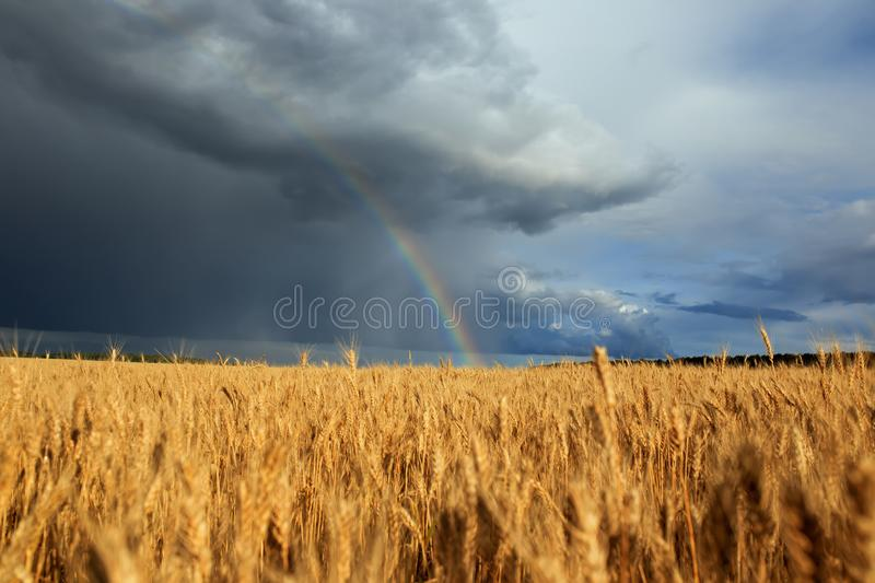 Natural beautiful landscape with blue stormy sky with clouds and bright rainbow over field of Golden ripe ears of wheat royalty free stock photography