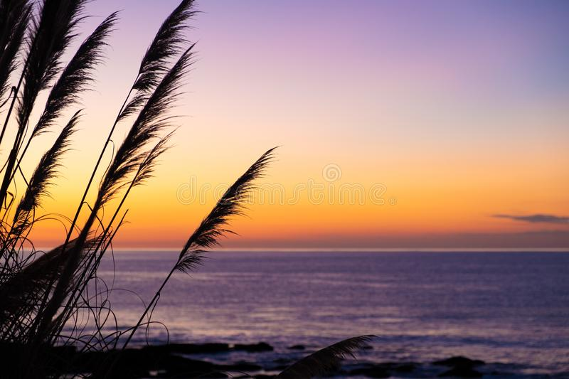 Natural landscape image of colorful sunset sky with silhouette of tall Toetoe toitoi tall grass New Zealand stock image