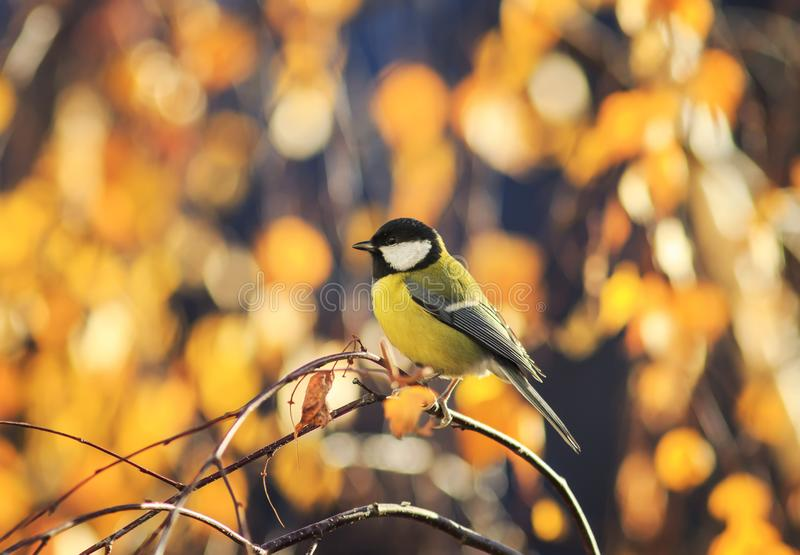 natural with little bird tit sitting in a Sunny Park on a birch tree with yellow bright autumn leaves royalty free stock image