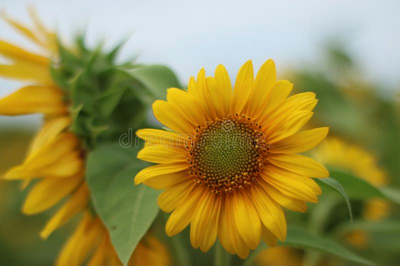 Beautiful sun flower in the morning royalty free stock photos