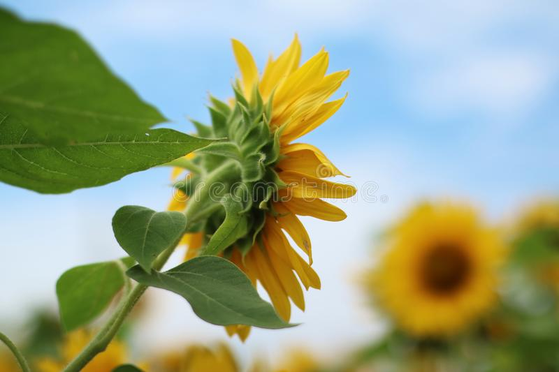 Beautiful sun flower in the morning royalty free stock photography