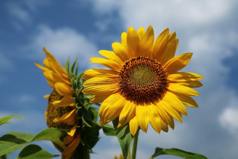 Beautiful sun flower in the morning stock photos