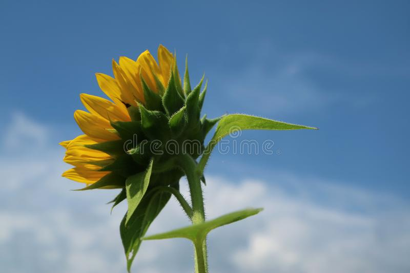 Beautiful sun flower in the morning stock photography