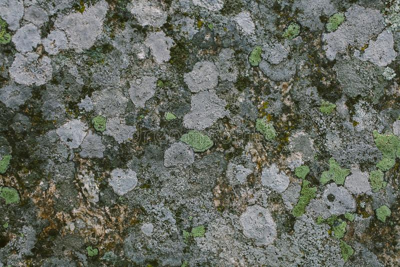 Natural lichen and moss background and texture. Old gray wall covered with lichen and moss. Organic textures and backgrounds. Natural lichen and moss background stock image