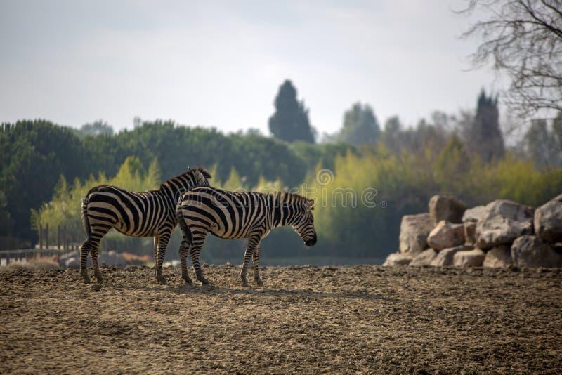 Natural life park, zoo, Izmir / Turkey, Zebra animal stock photography
