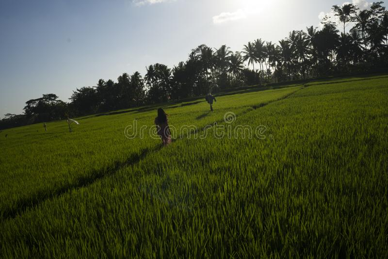 Natural lifestyle portrait of young beautiful and happy Asian Chinese woman in elegant Summer dress walking carefree and relaxed. At fresh tropical rice field royalty free stock photo