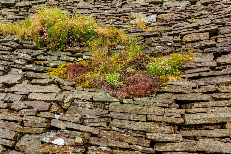 Natural limestone wall with plants and flowers between stones in the burren. Geosites and geopark, spring day in the countryside in County Clare in Ireland stock photo
