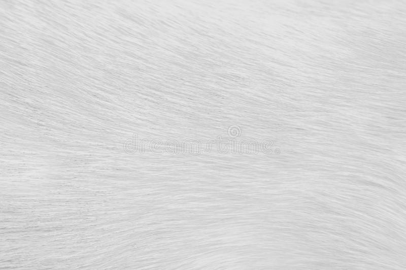 Natural llight gray or white texture fur cat abstract patterns for background. Close up Natural llight gray or white texture fur cat abstract patterns for royalty free stock photos