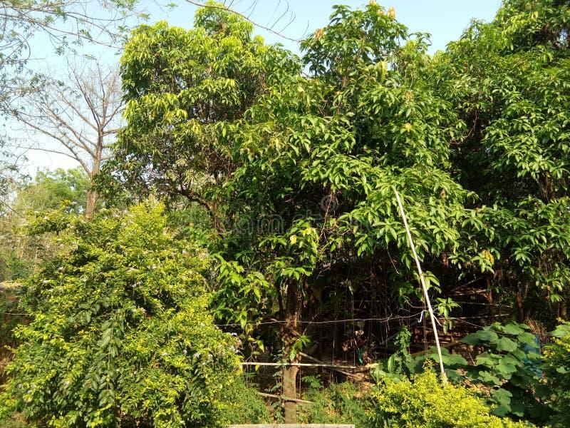 NATURAL MANGO TREE & x28;INDIAN& x29; royalty free stock photo