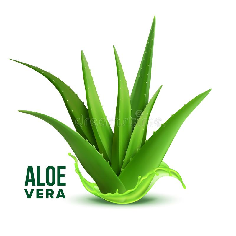 Natural Medicine Foliage Plant Aloe Vera Vector. Realistic Medicinal Vitamin Plant With Fresh Splash Juice. Component Of Cosmetology And Pharmacy Lotion Or vector illustration