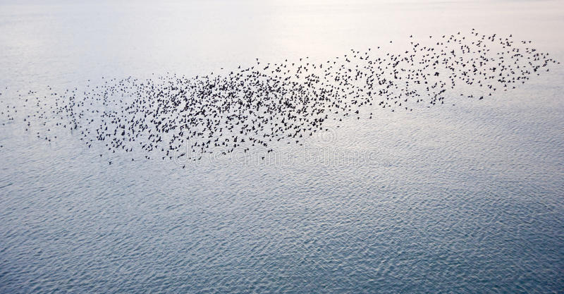 Natural migration of European starlings. The natural phenomenon which occurs annually in UK of starlings migrating in very tight formation stock images