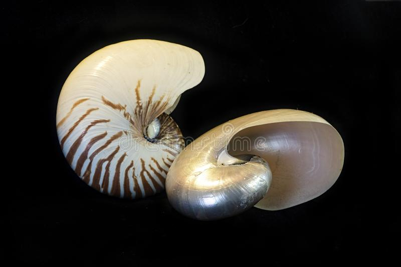 Natural and mother of pearl nautilus shells isolated on black. A Nautilus shell that has had its outer coating removed to show the lovely iridescent mother- of stock image
