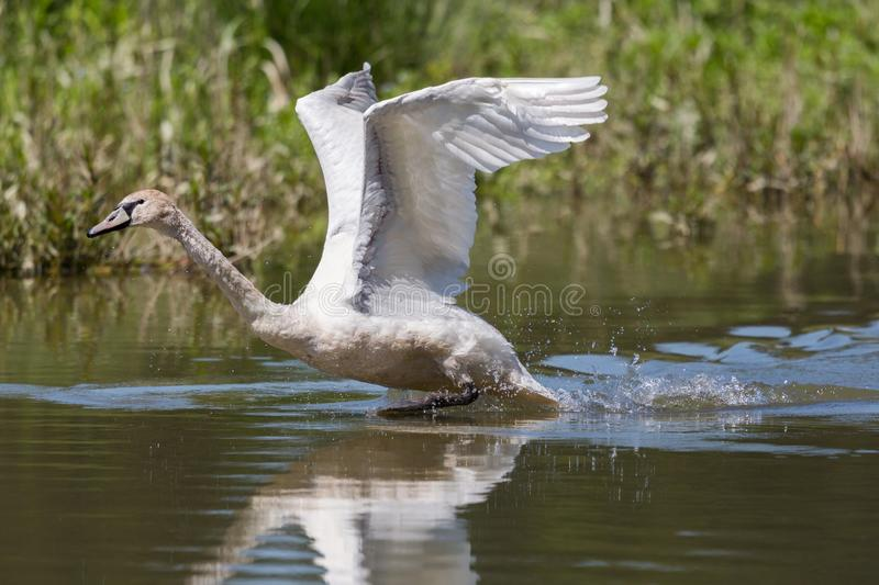 Mute swan Cygnus olor with spread wings running water surface. Natural mute swan Cygnus olor with spread wings running water surface royalty free stock photography