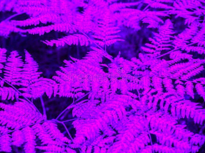 Natural neon background. Fluorescent fern leaves. Nature pattern. Flat lay.  stock photography