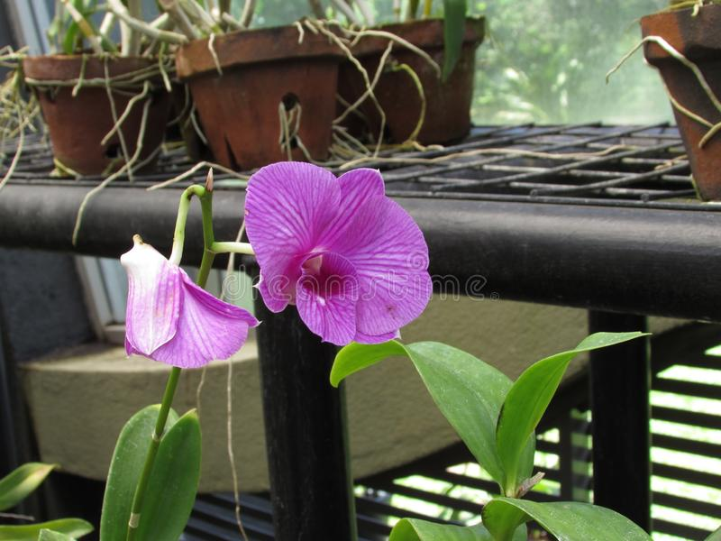 Natural okid flower Garden  beautiful. Garden future beautiful please in gampha Sri Lankans natural okid flower stock images