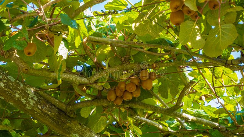 Natural organic Kiwi Fruit on a vine in rural Portugal. Natural organic Kiwi Fruit growing on a vine with blue sky background in rural Portugal. Bright sunny day royalty free stock photography