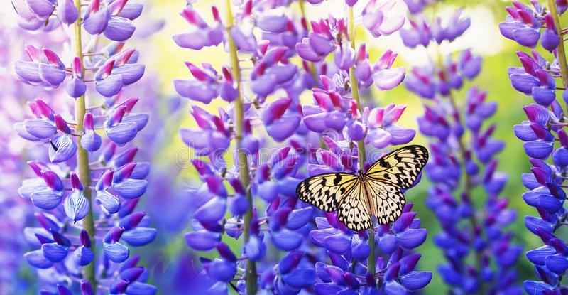 Natural panoramic background with beautiful and colourful butterfly sitting in the summer garden on a bright lilac , purple and royalty free stock photo