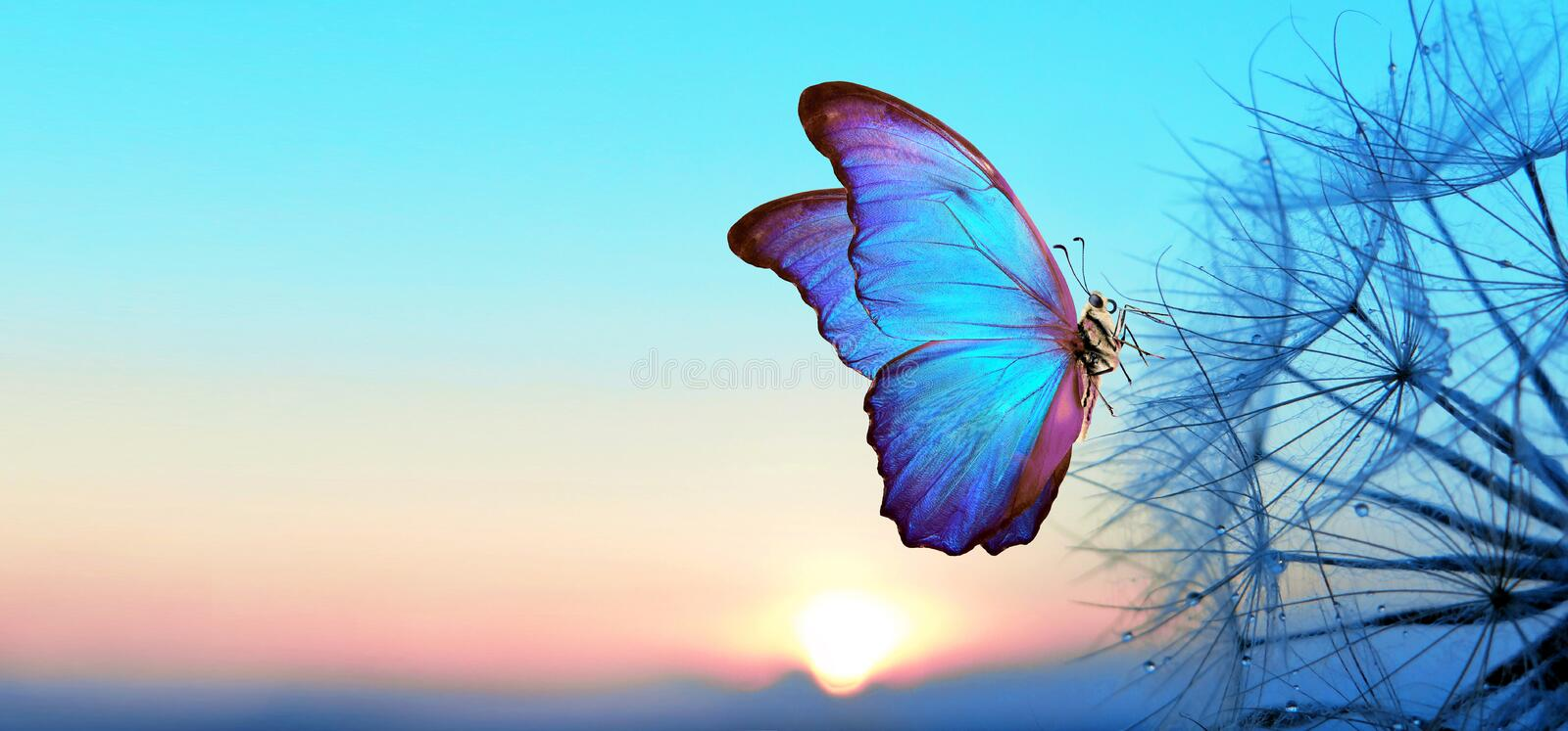 Natural pastel background. Morpho butterfly and dandelion. Seeds of a dandelion flower in droplets of dew on a background of sunri. Se royalty free stock photo