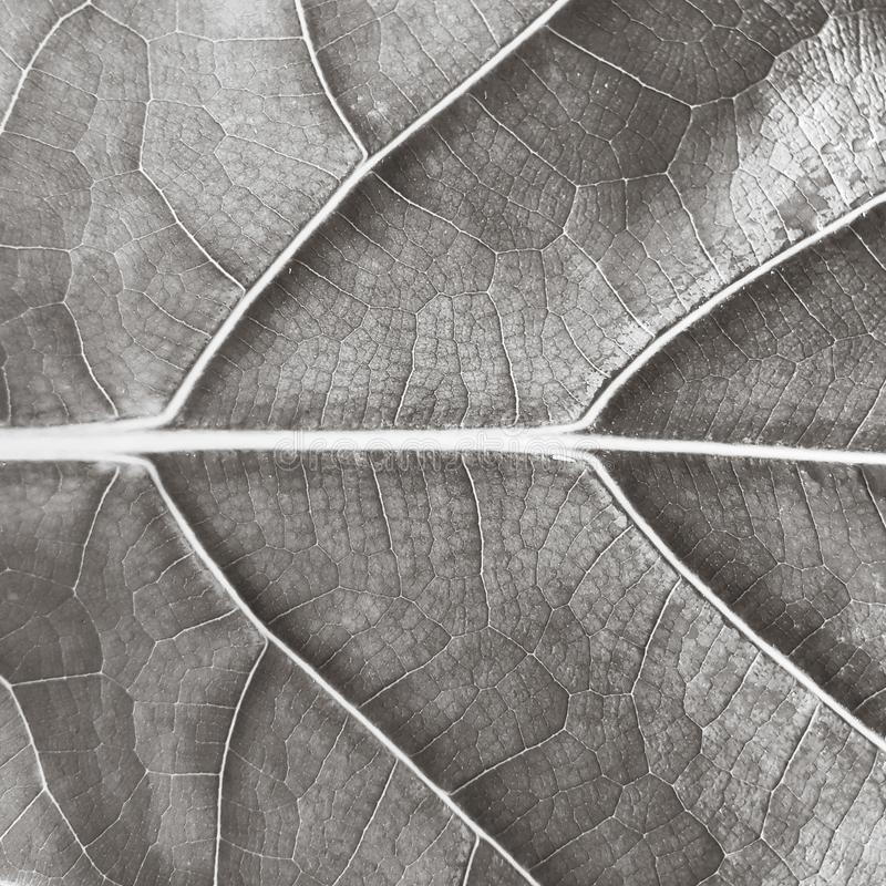 Natural pattern on leaf black and white shot. Abstract, background, texture, wallpaper, desktop, backdrop, full-frame, detail, surface, close-up, nature, tree stock photo