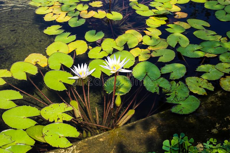 Two white water lilies surrounded by round green leaves in the pond. A natural pattern of water, flowers and green leaves in the park of a city on a sunny day stock photos