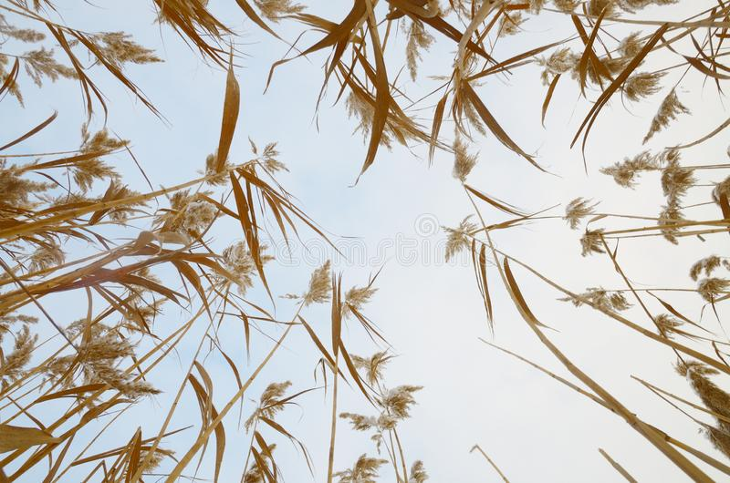 Natural pattern of yellow reeds against sky. royalty free stock images