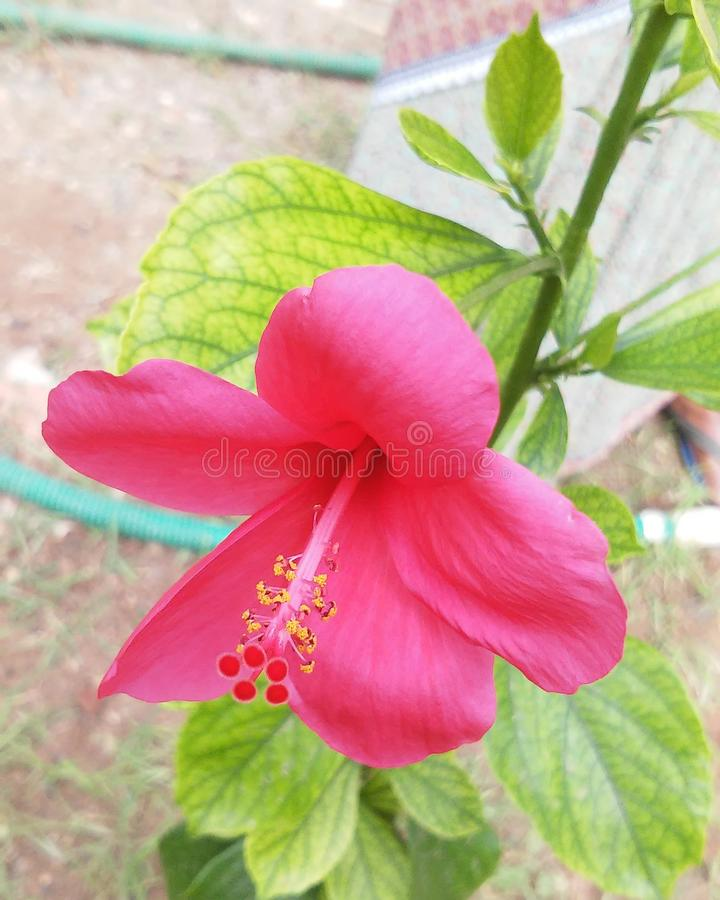 Natural Pink Hibiscus flower royalty free stock images