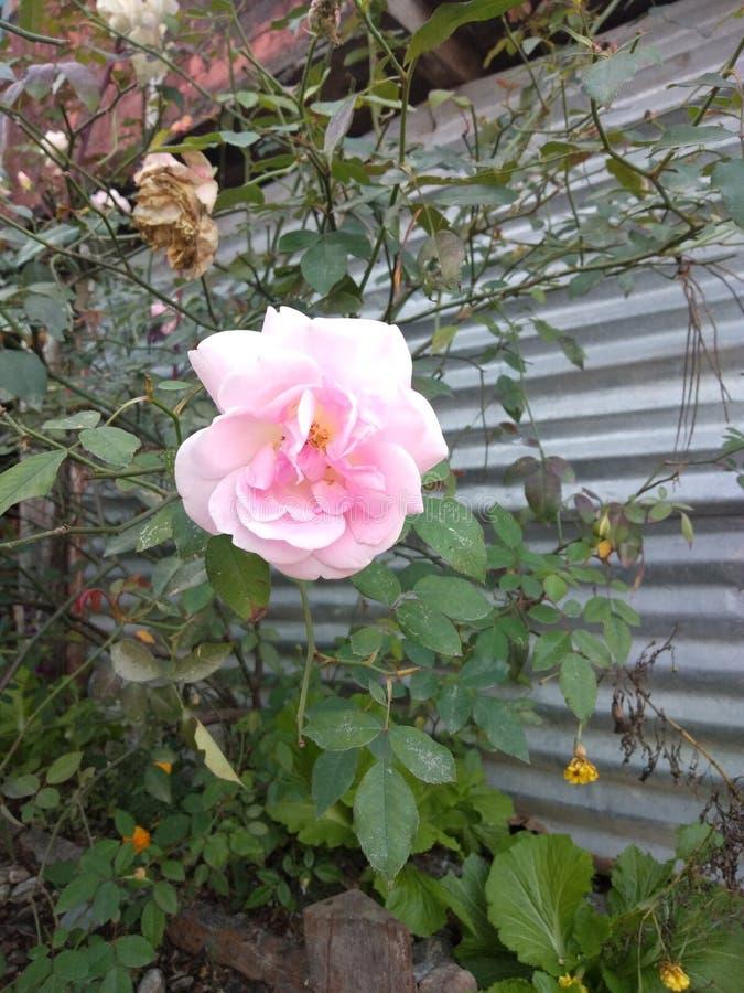 Natural Pink Rose royalty free stock images
