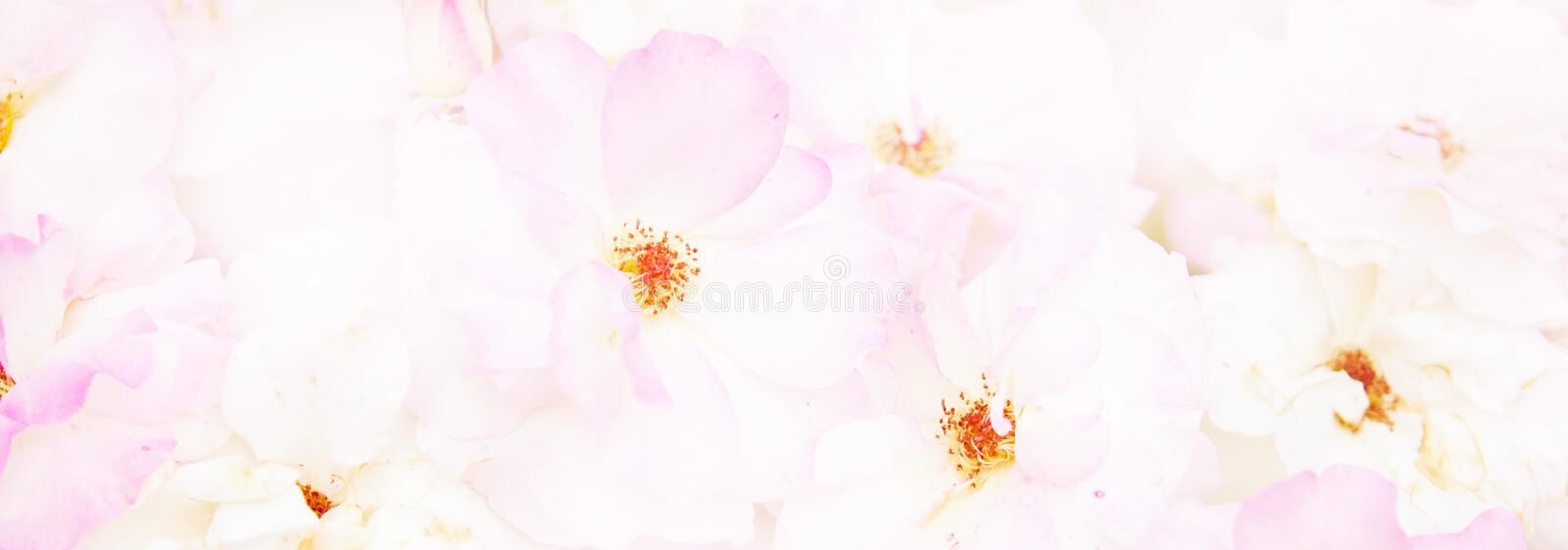 Natural  pink roses background. Pastel and soft bouquet floral card. stock photography